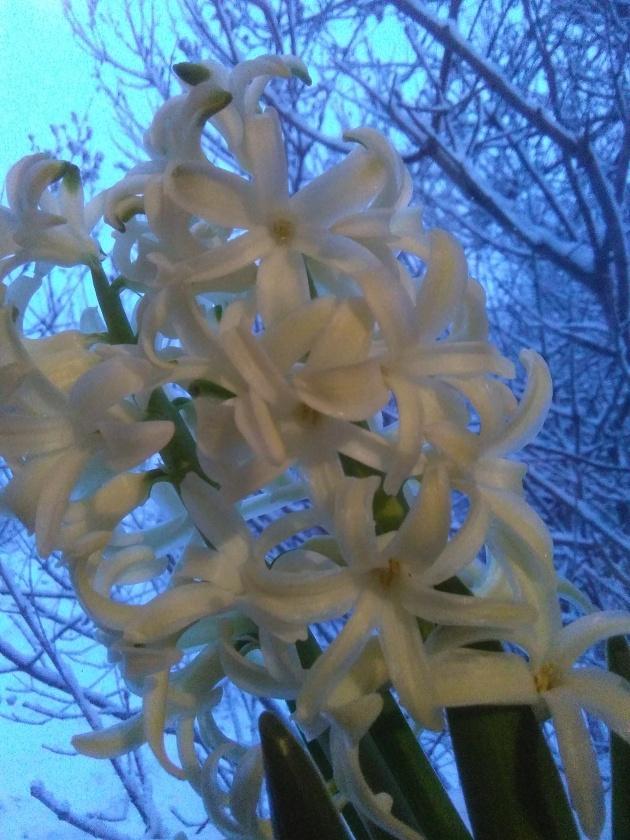 hiacynt-na-sniegu